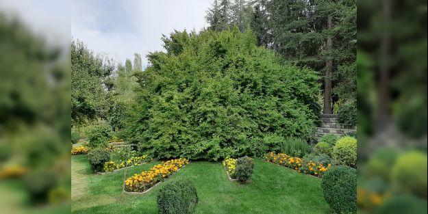 350 yıllık ağaca koruma