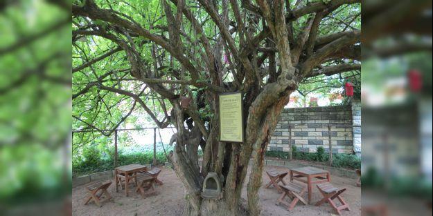 370 yıllık Kızılcık ağacı yetkililerin ilgisini bekliyor