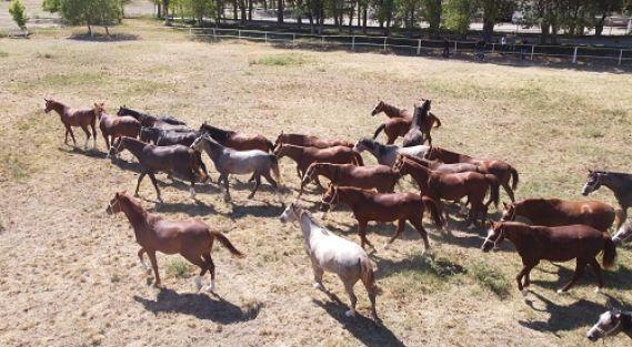 Şampiyon adayı safkan Arap atları Sultansuyu'nda yetiştiriliyor