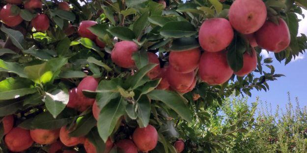 Doğanşehirli elma üreticileri soğuk hava deposu istiyor
