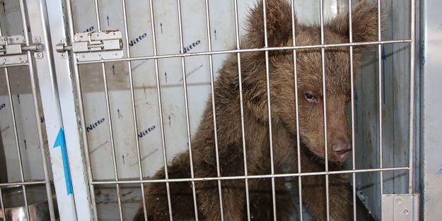 Yaralı yavru ayı, sağlığına kavuştu