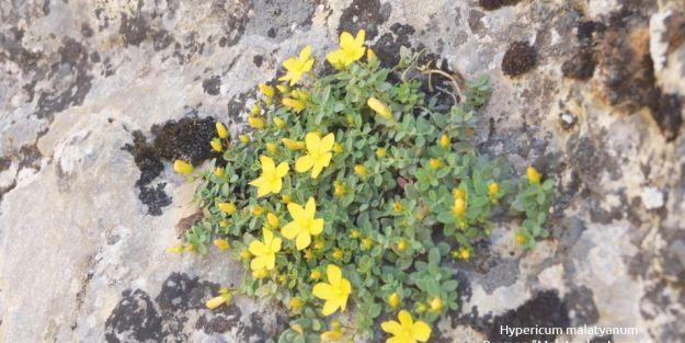 'Bu bitkiler dünyada sadece Malatya'da yetişiyor