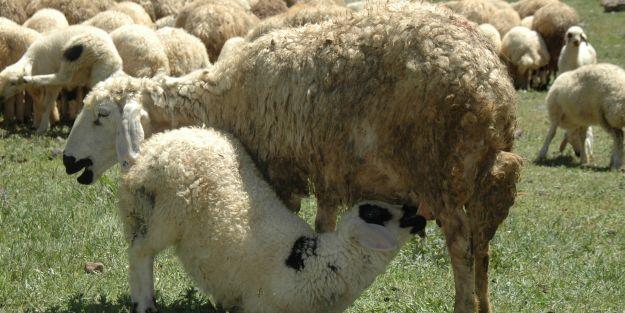 Koyun - Keçi  Yetiştiricileri Birliği, yaylada bilgilendirme çalışması yapıyor