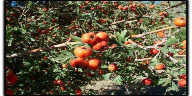 Malatya'da Alıç Ormanları Kurulacak